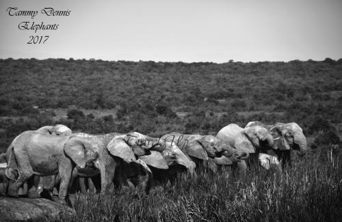 African elephants Addo elephant NP