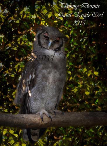 giant eagle owlworld of birds