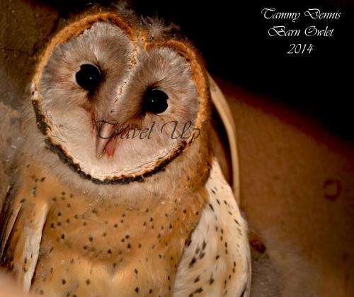 Barn OwlNamibia