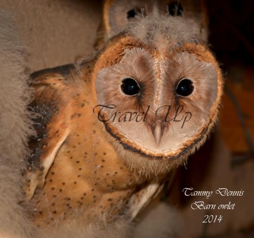 Barn Owl Namibia
