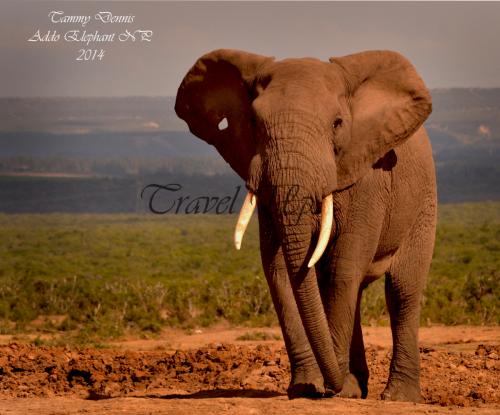 African elephant Addo elephant NP